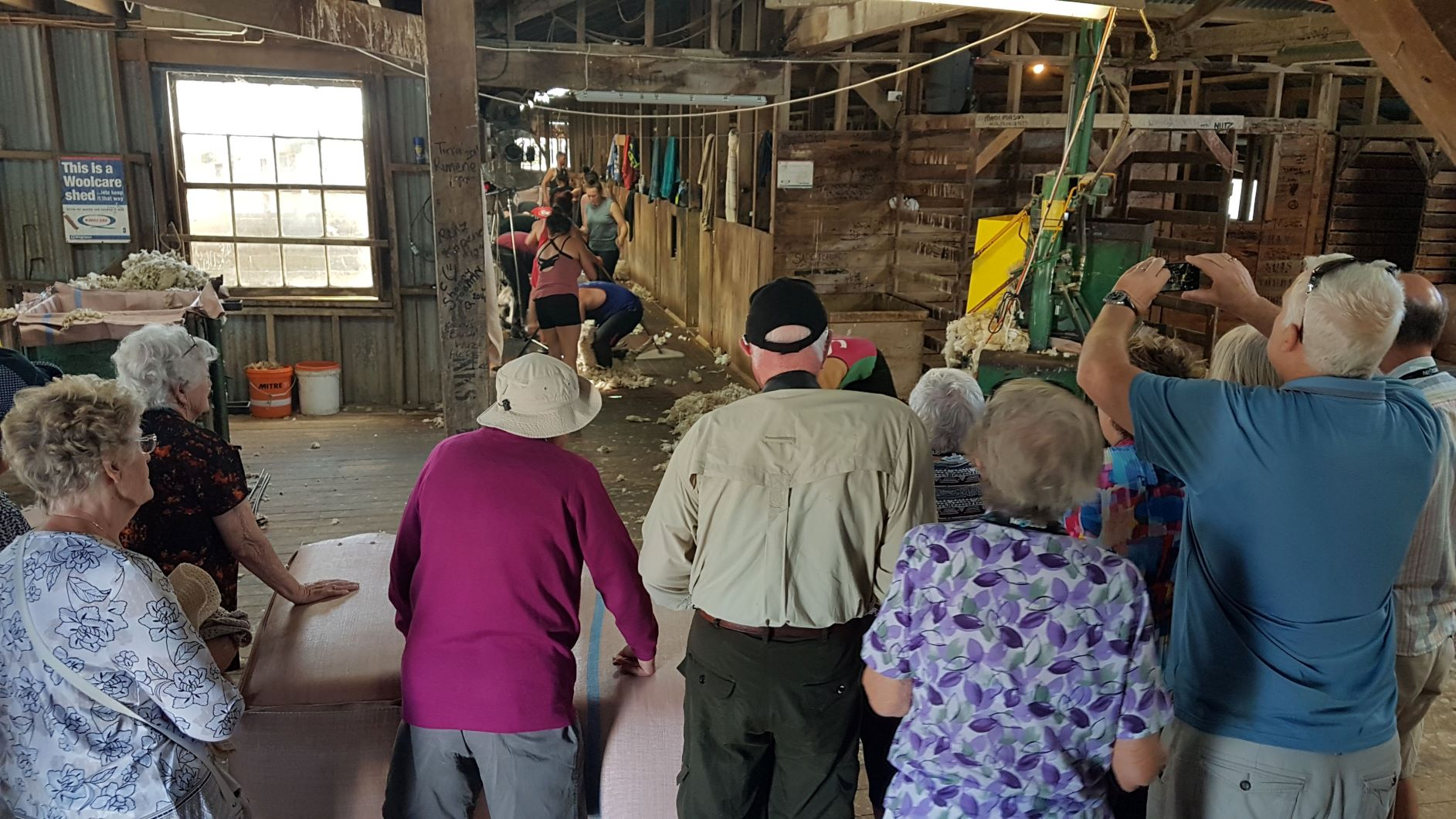 Lagoon Hill Station woolshed shearing