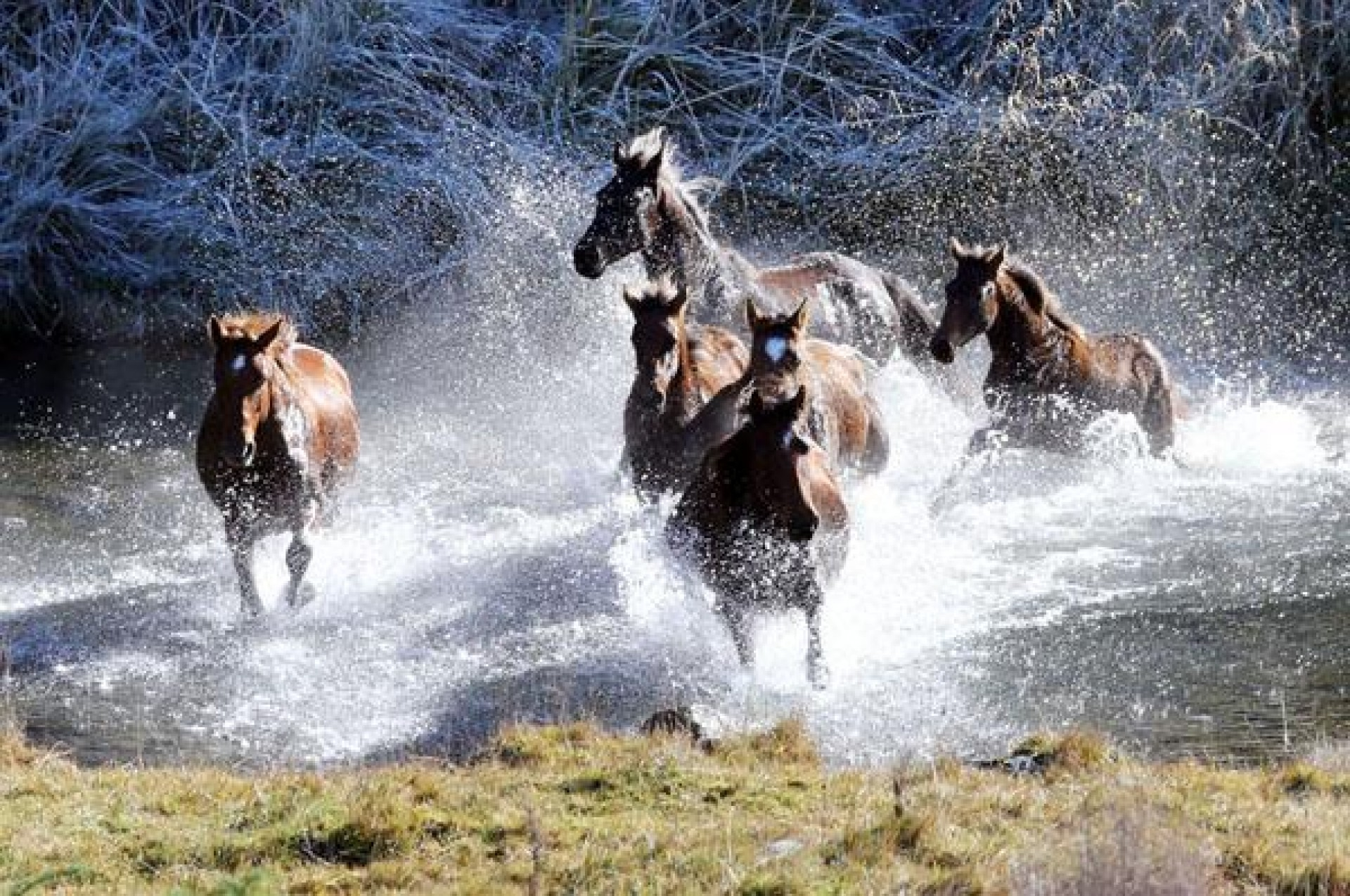 See the Wild Horses at Home in the Tussock Lands of the Kaimanawa Ranges